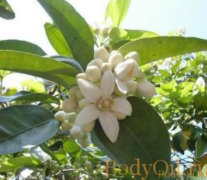 Бергамот и его цветы