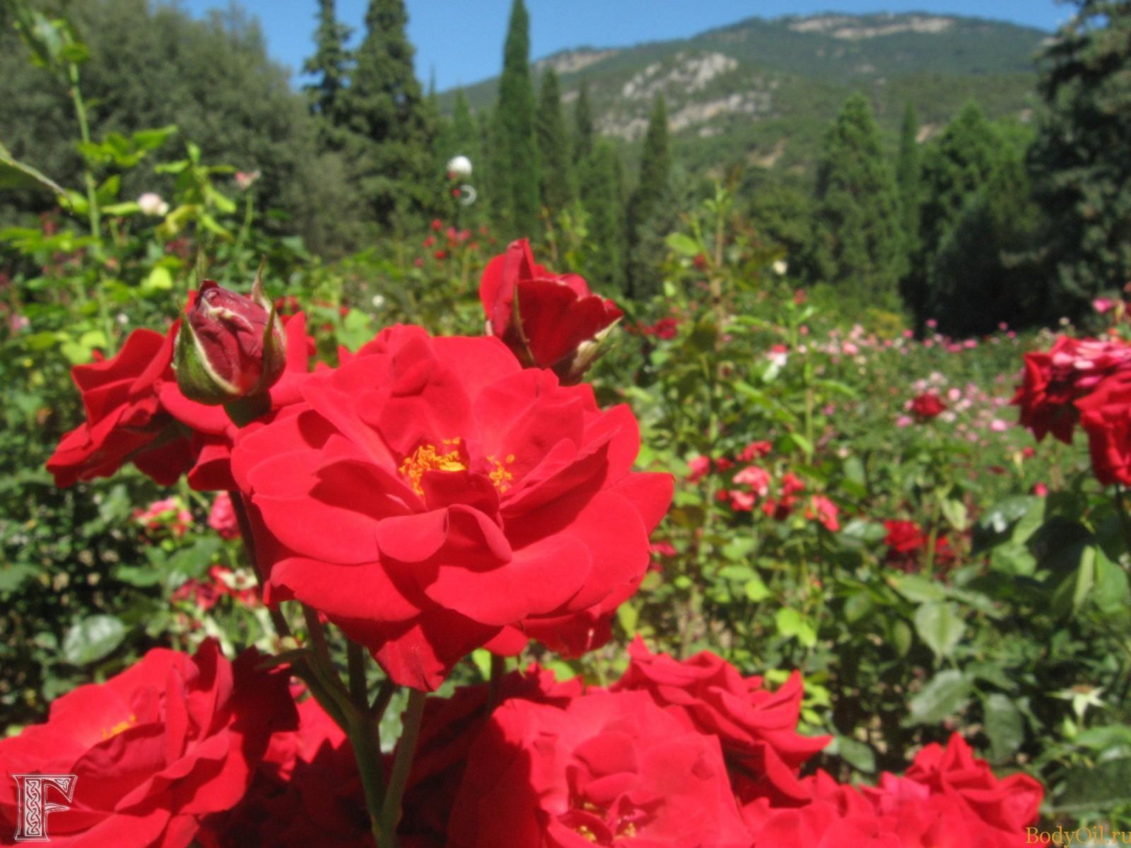Крымская роза цветы фото